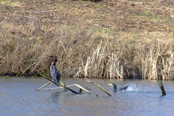 """Skarven holder til i vandet og på grene. Med svømmehud mellem alle """"tæerne"""" er den meget dårlig til at gå på jorden. Til gengæld svømmer den lige så godt, som den flyver."""