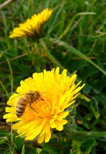 Lad mælkebøttehoveder trække i honning. Det gør honningen meget effektiv ved ondt i halsen. Og honningen er måske hentet som her - som nektar hos en mælkebøtte