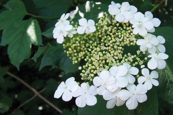 """De yderste blomster hos kvalkved er golde og kun """"reklame"""". De små i midten er dem, det i virkeligheden handler om."""