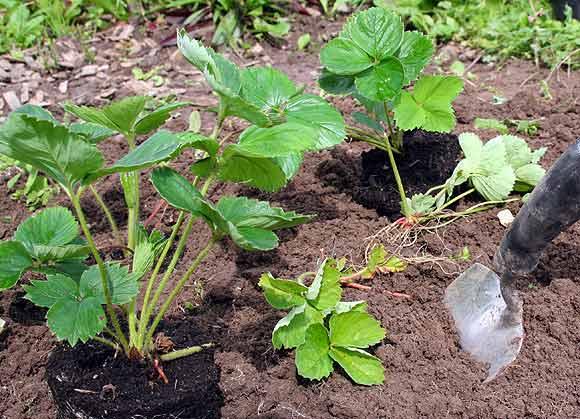 plant jordbær