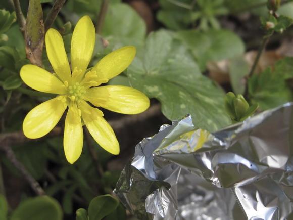 Skønheden og udyret. En nyudsprunget vorterod sammen med noget grimt plastic-affald. (Foto: Kirsten Hermansen)