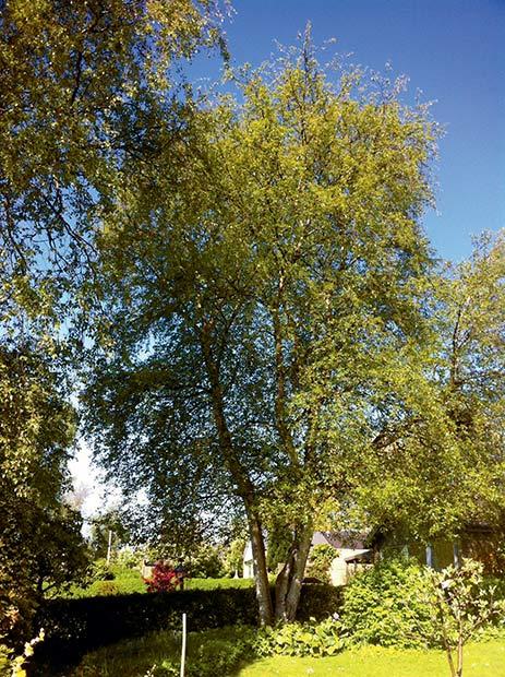 Træet var i fare for at rådne og vælte af sig selv.