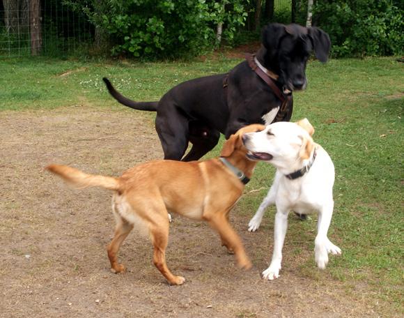 Da den nye hundegård blev indviet, så disse hunde ud til at hygge sig.